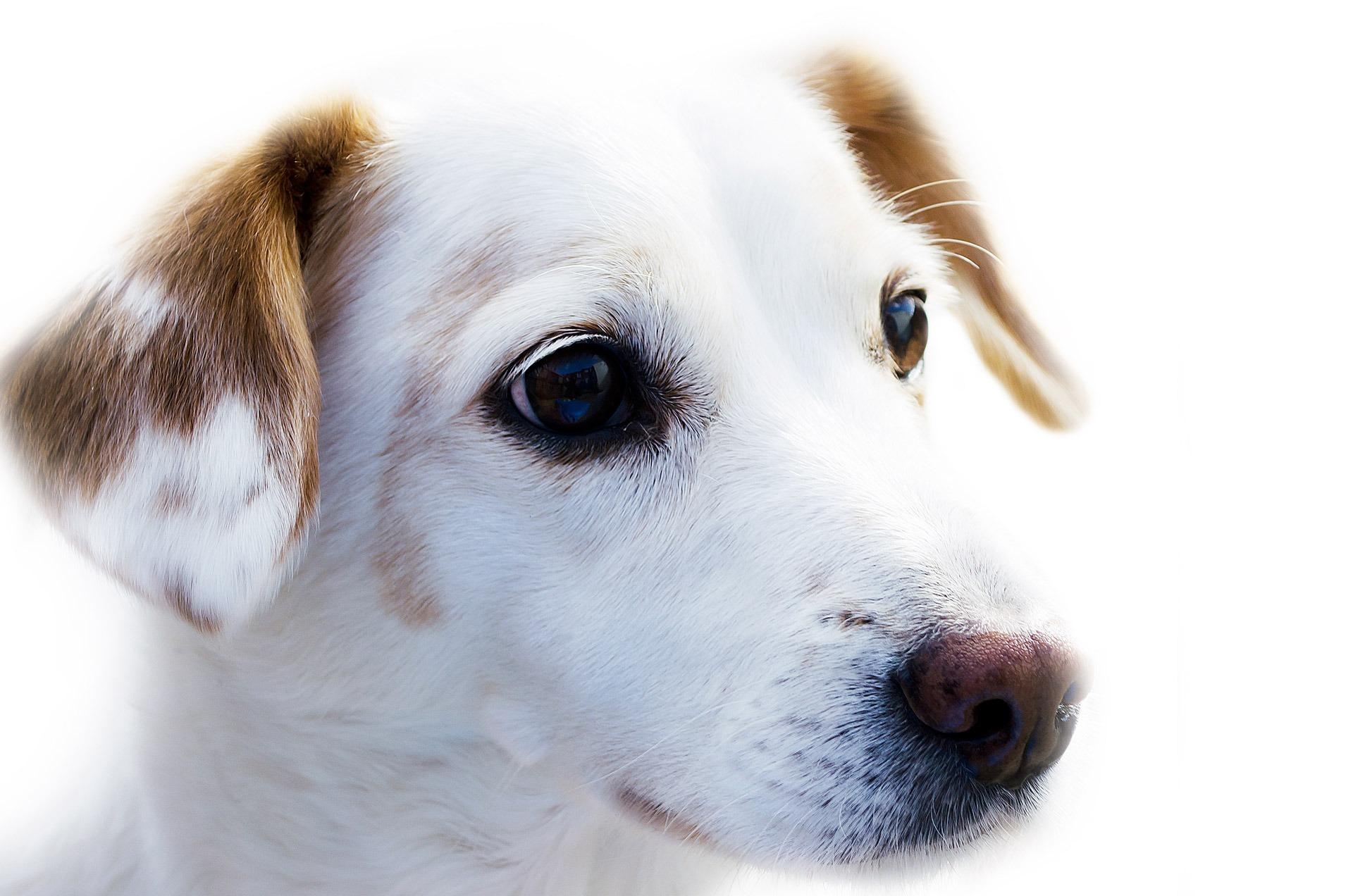 dog-72333